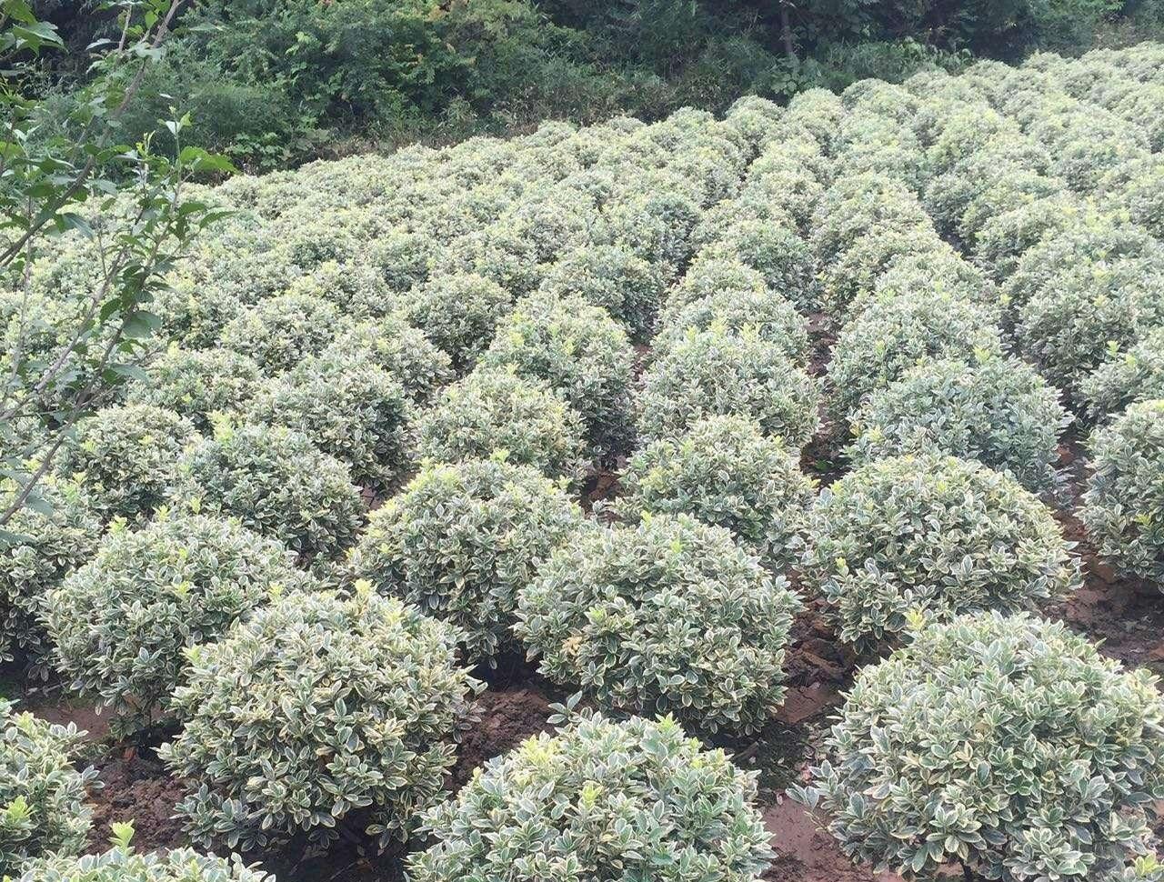 过水苗木全部喷施杀菌剂